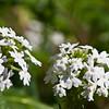 Phlox in bloom at Mercer Arboretum and Botanical Gardens in Spring, Texas.