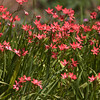 Endangered Texas Trailing Phlox wildflowers, Phlox texensis, at Mercer Arboretum and Botanical Gardens in Spring, Texas.