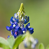 Texas Bluebonnet wildflower, Lupinus texensis, at Mercer Arboretum and Botanical Gardens in Spring, Texas.