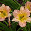 Daylily, Hemerocallis 'TREE OF LIFE', at Mercer Arboretum and Botantical Gardens in Spring, Texas.