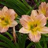 Daylily, Hemerocallis 'TREE OF LIFE', at Mercer Arboretum and Botantical Gardens in Spring, Texas.