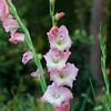 Gladilola at Mercer Arboretum and Botanical Gardens in Spring, Texas.