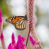 Monarch Butterfly, Danaus plexippus, on Fireweed, Celosia spicata, at Mercer Arboretum and Botanical Gardens In Spring, Texas.