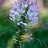 Spider Flower, Cleome spinosa, at Mercer Arboretum and Botanical Gardens in Spring, Texas.