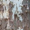 Bark of Eastern Sycamore tree, Platanus occidentalis, at Mercer Arboretum and Botanical Gardens in Spring, Texas.
