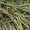 Lilyturf AZTEC GRASS at Mercer Arboretum and Botanical Gardens
