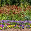 Garden scene with  Nemesia fruticans BLUEBIRD and Viola GRANDIO ROYALTY MIX at Mercer Arboretum and Botanical Gardens