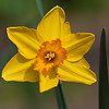 Daffodil, Narcissus x 'MONAL', at Mercer Arboretum and Botanical Gardens in Spring, Texas.