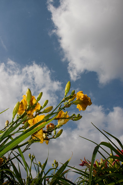 Daylily, Hemerocallis 'JASON SALTER', at Mercer Arboretum and Botanical Gardens in Spring, TX.