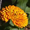 Pot Marigold, Calendula officinalis, at Mercer Arboretum and Botanical Gardens in Spring, Texas.