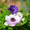 Anemone at Mercer Arboretum and Botanical Gardens
