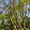 Crepe Myrtle tree 'YUMA' at Mercer Arboretum and Botanical Gardens.