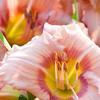 Daylily, Hemerocallis 'Highland Mystic', at Mercer Arboretum and Botanical Gardens in Spring, Texas.