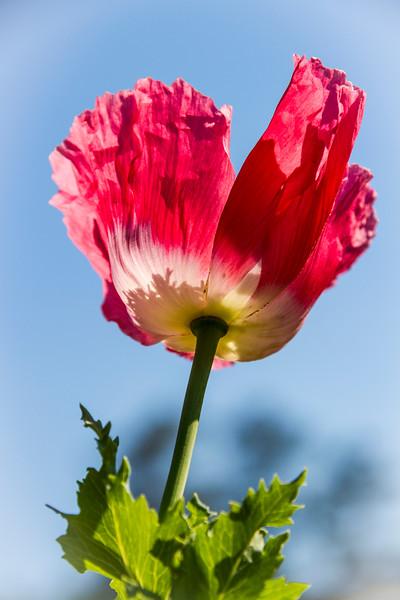 Oriental Poppy flower, Papaver orientale, at Mercer Arboretum and Botanical Gardens in Spring, Texas.