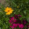 Coreopsis and Pinks at Mercer Botanical Gardens.