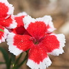 China Pink - Dianthus chinensis 'Valentine' - at Mercer Arboretum in Spring, Texas.