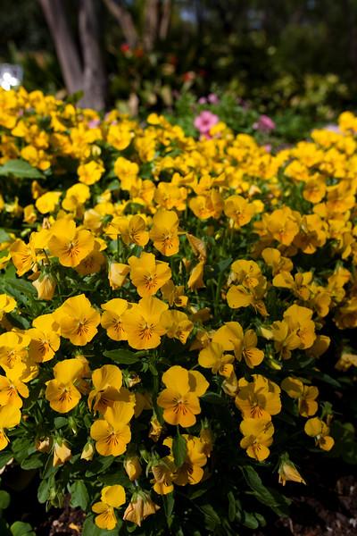 Violet, Viola cornuta 'SORBET YELLOW DELIGHT', at Mercer Arboretum and Botanical Gardens in Spring, Texas.