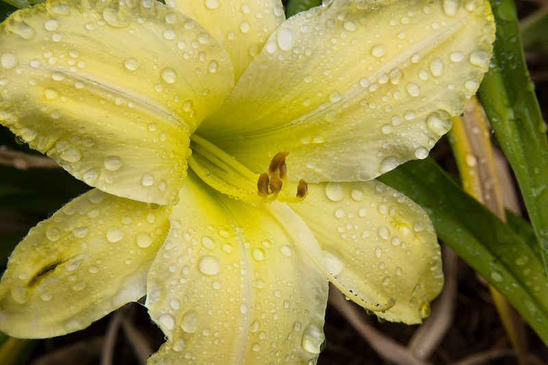 Daylily, Hemerocallis 'HALTER TOP', at Mercer Arboretum and Botanical Gardens in Spring, Texas.