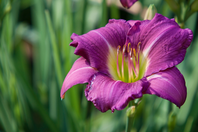 Daylily, Hemerocallis 'Debbie Durio', at Mercer Arboretum and Botanical Gardens in Spring, Texas.