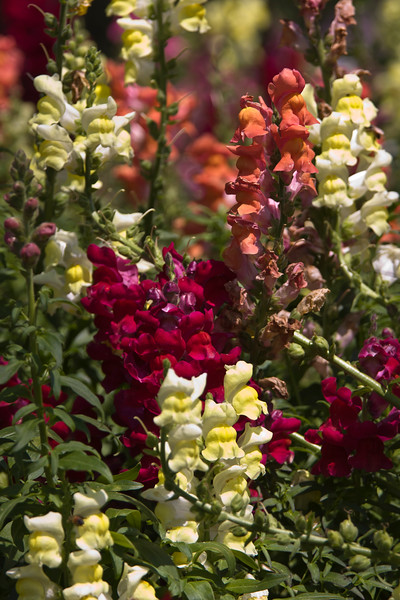Snapdragon flowers at Mercer Arboretum and Botanical Gardens in Spring, Texas.