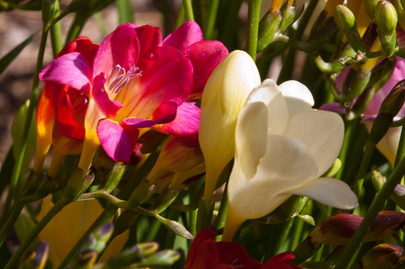 Freesia, Freesia x 'DOUBLE MIXED', at Mercer Arboretum and Botanical Gardens in Spring, Texas. Freesia are in the Iris family.