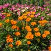 Gazinia 'Gazoo Clear Orange', Gazania rigens, at Mercer Arboretum and Botanical Gardens in Spring, Texas.