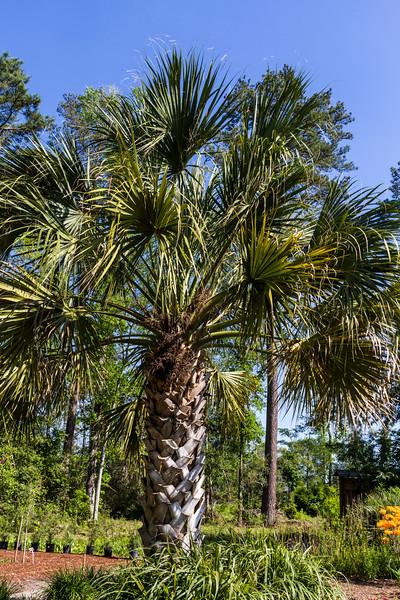 Maya Palm Tree, Sabal guatemalensis, at Mercer Arboretum and Botanical Gardens in Spring, Texas.