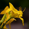 Daylily, Hemerocallis 'SWEET PATOOTIE', at Mercer Arboretum and Botanical Gardens in Spring, TX.
