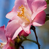 Camellia 'GRACE BUNTON', Camellia japonica 'GRACE BUNTON', at Mercer Arboretum and Botanical Gardens in Spring, Texas.