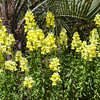 Snapdragon SONNET YELLOW in Mercer Botanical Gardens.