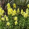 Snapdragon SONNET YELLOW in Mercer Botanical Gardens.