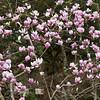 Magnolia tree in bloom at Mercer Arboretum and Botanical Gardens in Spring, Texas.