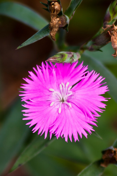 Dianthus (Pinks) at Mercer Arboretum and Botanical Gardens in Spring, Texas.