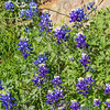 Texas Bluebonnet at Mercer Arboretum and Botanical Gardens
