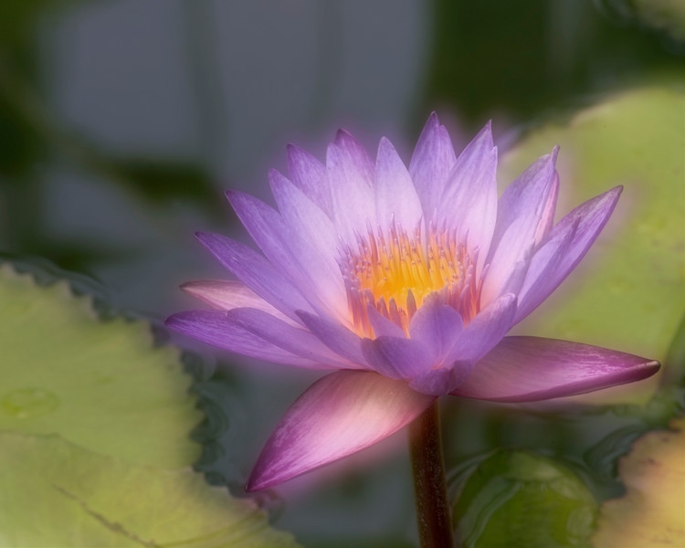 """""""Dreamy"""" Waterlily, double exposure, at Mercer Arboretum and Botanical Gardens in Spring, Texas."""