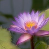 """Dreamy"" Waterlily, double exposure, at Mercer Arboretum and Botanical Gardens in Spring, Texas."