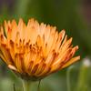 Pot Marigold, Calendula officinalis 'Triangle Flashback', at Mercer Arboretum in Spring, Texas.