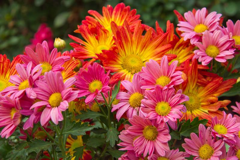 Chrysanthemum hybrids at Mercer Arboretum and Botanical Gardens in Spring, Texas.
