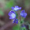 Purple Phacelia, Phacelia patuliflora, at Mercer Arboretum and Botanical Gardens in Spring, Texas.