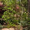 Japanese Magnolia Tree, Magnolia 'BETTY', at Mercer Arboretum and Botanical Gardens in Spring, Texas.