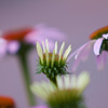 Purple Coneflower, Echinacea purpurea, at Mercer Arboretum and Botanical Gardens in Spring, TX.