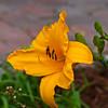 Daylily, Hemerocallis 'CLEDA JONES', at Mercer Arboretum and Botantical Gardens in Spring, Texas.