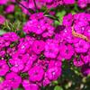 Dinathus (Pinks) flowers at Mercer Botanical Gardens.