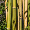 Bamboo FLAVIDOVIRENS at Mercer Arboretum and Botanical Gardens