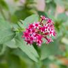 Star-Cluster wildflower, Pentas lanceolata, at Mercer Arboretum and Botanical Gardens in Spring, Texas.