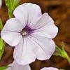 Petunia at Mercer Arboretum and Botantical Gardens in Spring, Texas.