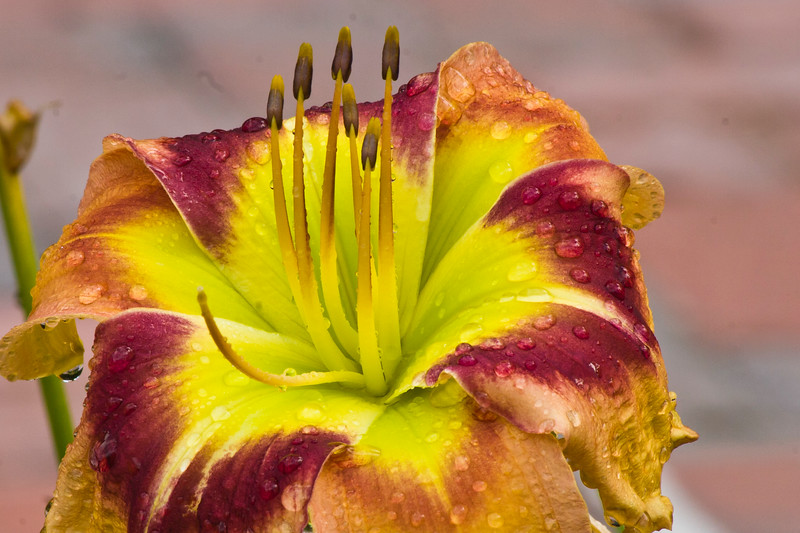 Daylily, Hemerocallis 'BALLYHOO', at Mercer Arboretum and Botantical Gardens in Spring, Texas.