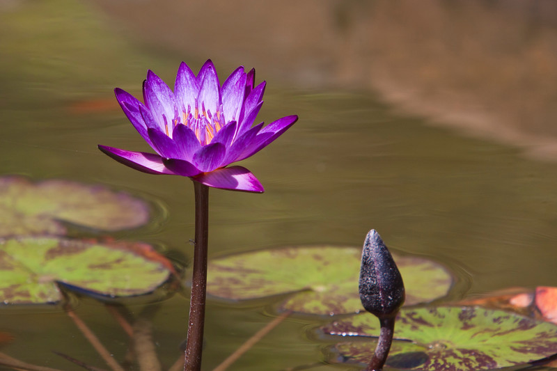 Waterlily and Bud at Mercer Arboretum and Botanical Gardens in Spring, Texas.