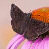Moth on Purple Coneflower (Echinacea purpurea) at Mercer Arboretum and Botanical Gardens in Spring, TX.
