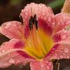 Daylily, Hemerocallis 'DECAUTER CHERRY SMASH', at Mercer Arboretum and Botanical Gardens in Spring, Texas.